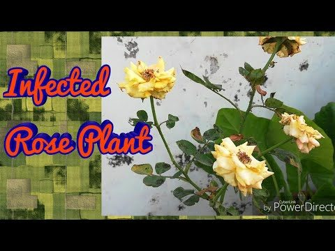 Update – 1 Treatment For My Infected Rose plant