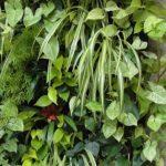 Green wall for indoor use – Plants hydroponics grow Sodium LED Fluo Hemp sativa indica