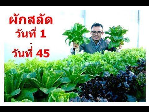 Hydroponic Farming Vegetable 1 – 45 days. ปลูกผักไฮโดรโปนิกส์