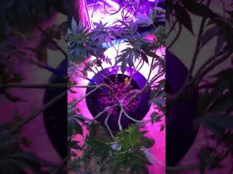 Bloomspect led lights Hydroponic weed Grow closet Grand daddy purple and Banana KUSH Indoor grow.