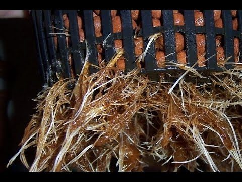How to Fix Root Rot Cheap Sterile Rez for DWC