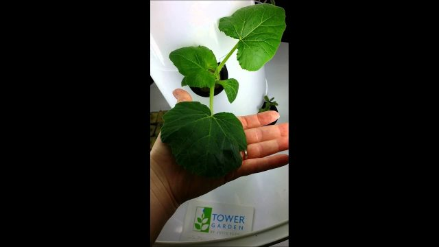 Tower Garden by Juice Plus Day 10