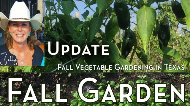 Fall Vegetable Gardening in Texas – Progress Update