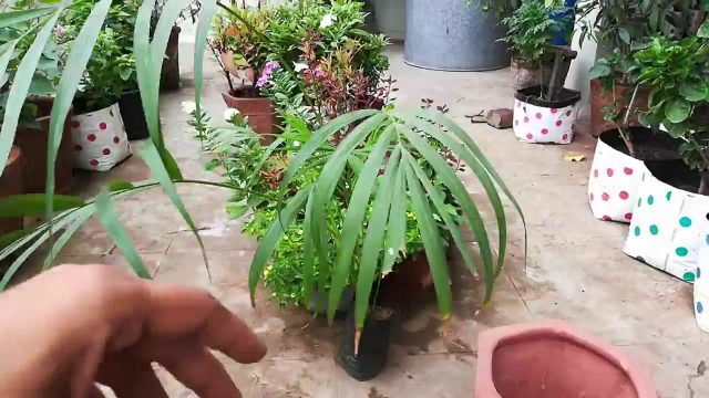 How to Grow and Care Areca Palm