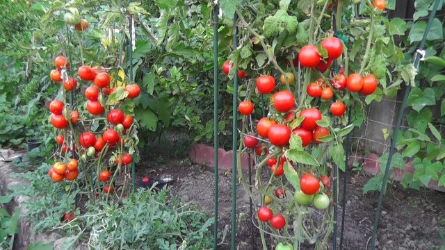 Grow Tomatoes At Home Easily | Rooftop Garden | Urdu/Hindi