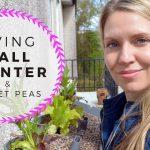 Living Wall Planter, Seedlings, & planting Sweet Peas