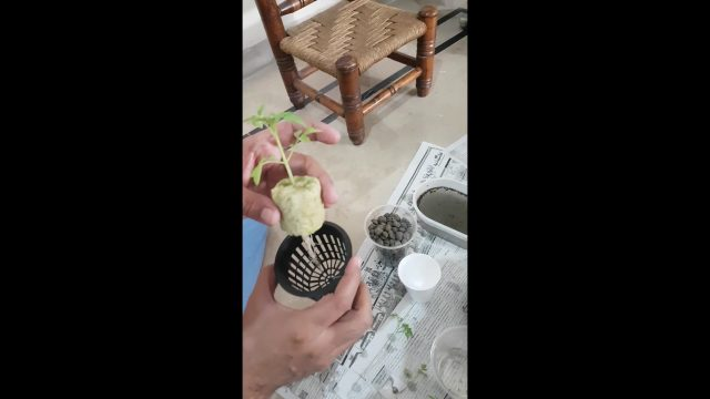 How to setup seedling in Hydroponic System (Kratky Method)