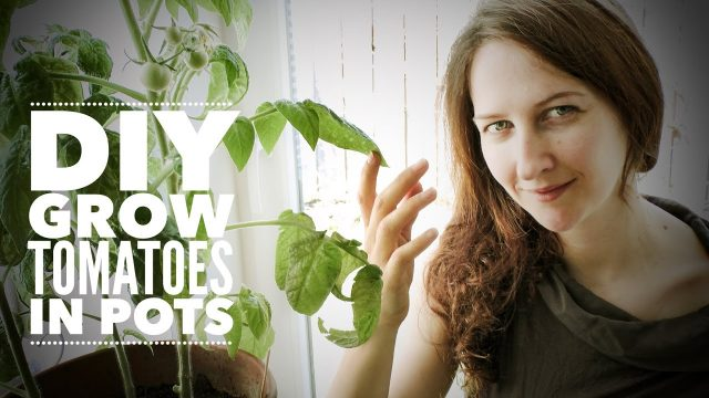 Tomatoes: Growing Indoor Tomatoes Year Round – on How to Grow a Garden with Scarlett