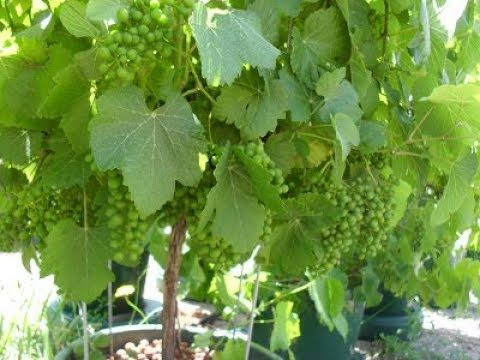 12 – How to Grow Hydroponic Grapes with plastic Bottle from cutting (No Electricity)