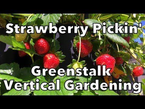 Picking Strawberries from the Greenstalk Vertical Garden Tower