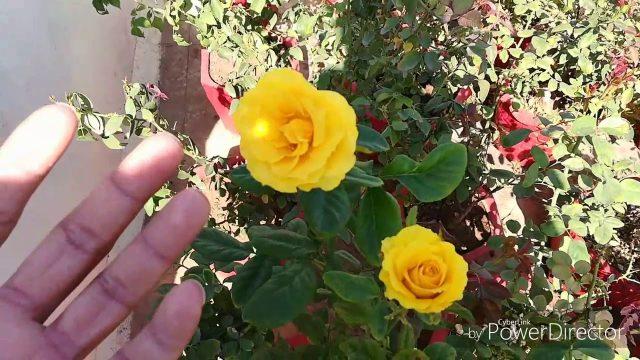 GET NEW SHOOTS ON YOUR ROSES गुलाब  पे  नए पत्ते  लाने  के  लिए  इतना करे