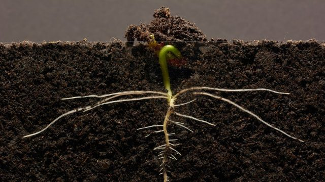 Bean Time-Lapse – 25 days | Soil cross section