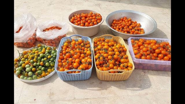 Hydroponic Climate Controlled Greenhouse Pakistan-Huge harvest of Cherry tomatoes