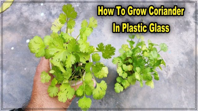 How to Grow Coriander Plants from seeds in Plastic Glass || roof gardening (with english subtitle)