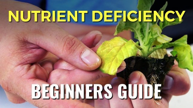 A Beginners Guide: Nutrient Deficiency