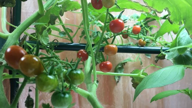 Delicious Cherry Tomatoes All Over and Hand Pollinating Flowers