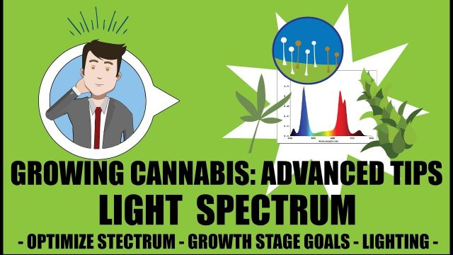 What light spectrum does weed need to grow? – Growing Cannabis 201: Advanced Grow Tips