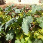 2018 Arizona winter vegetable garden – Part 1