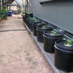 Off the Grid  Kratky Method of Hydroponics (guerilla buckets)