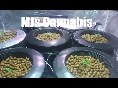 Growing weed Hydroponics week 2 dwc