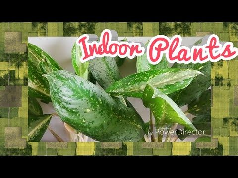 Aglaonema Plant care and Propogation and Root pruning