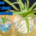 How to grow spider plant in water / Hydroponic method