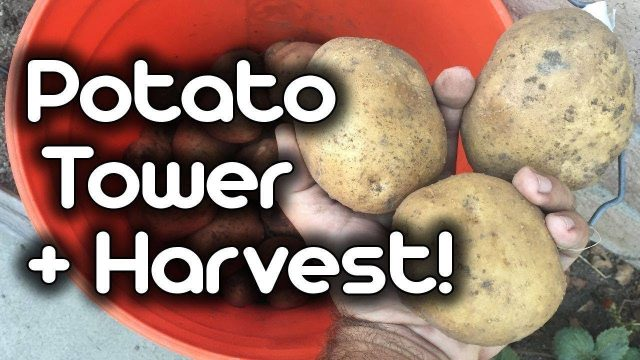 Potato Tower + Harvest!