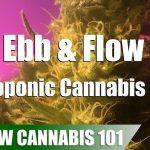Ebb & Flow Hydro Cannabis Timelapse Grow – Clone To Harvest