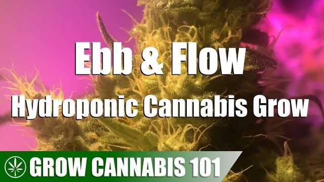 Ebb & Flow Hydro Cannabis Timelapse Grow – Clone To Harvest