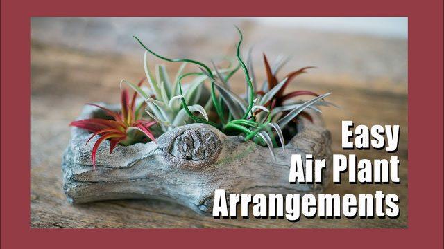 🌱Air Plant Display Ideas | Tillandsia Gardening Tips | Indoor Gardening 🌱