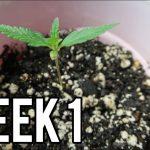 WEEK 1 GROWING CANNABIS INDOORS! – GERMINATING MARIJUANA SEEDS & PLANT GARDEN