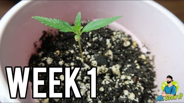 WEEK 1 GROWING CANNABIS INDOORS! – GERMINATING MARIJUANA SEEDS & PLANT GARDEN