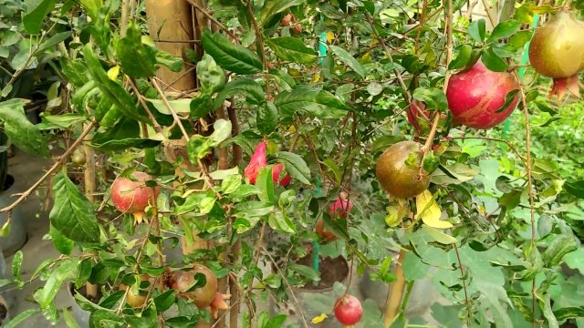 Pomegranates in My Rooftop Garden. আমার ছাদ বাগানে ডালিম।
