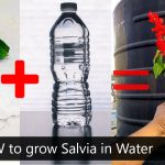 hydroponic gardening how to grow Salvia in Water | kratky method |Indian Hydroponics