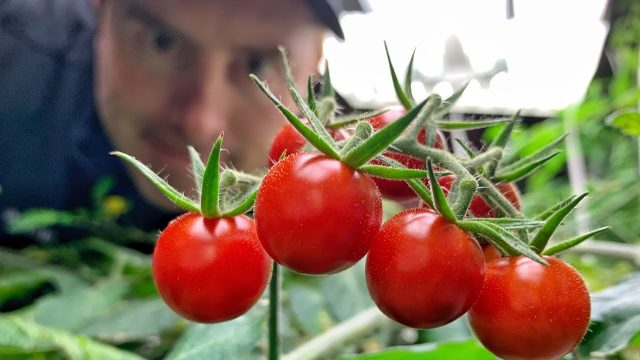 RESULTS! —  Hydroponic tomatoes: How to grow tomatoes forever..ish. Or for a really long time.