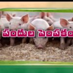 పందుల పెంపకం | Pig Farm In India | Godavari Gattu Meeda | JaiKisan News