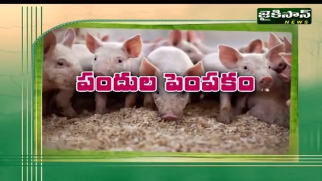 పందుల పెంపకం | Pig Farm In India | Godavari Gattu Meeda | JaiKisan News
