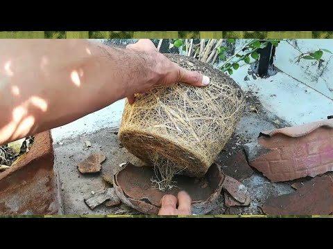 Aakhir mein Jasmine Plant Ko Repot kiya , Root bounding,