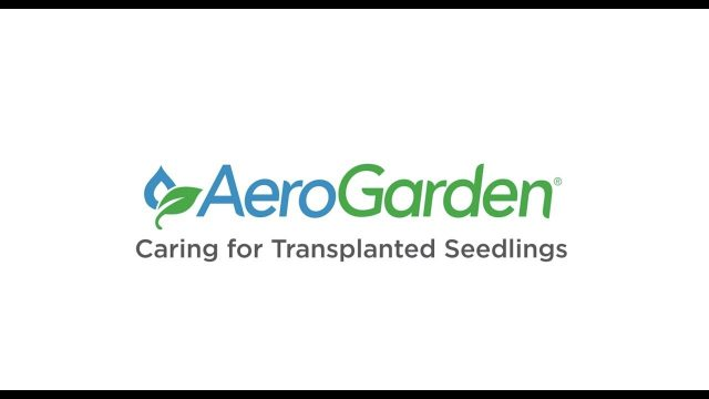 Caring For Transplanted Seedlings – AeroGarden Indoor Gardening Month