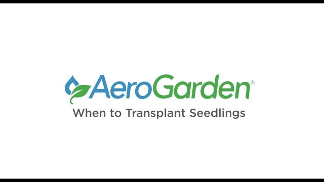 When to Transplant Seedlings – AeroGarden Indoor Gardening Month