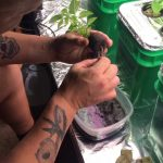 How I transplant a pepper plant from soil to hydroponics