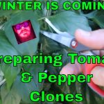 How to clone plants – growing hydroponic plants for winter hydro tomatoes jalapenos & hydo habaneros