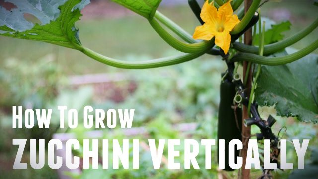 How To Grow Zucchini Vertically – Save Space & Increase Yields in 5 Simple Steps
