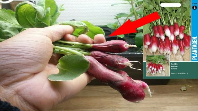 Growing radishes hydroponically (French Breakfast)