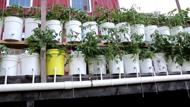 Dutch bucket tomatoes outdoors, Yes you can do it!!