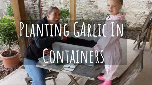 Planting Garlic In Containers – Gardening With Kids