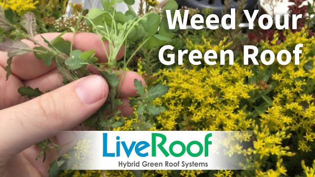 How to Weed Your Green Roof