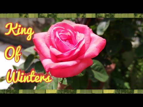 Get ready Your Roses For Winters