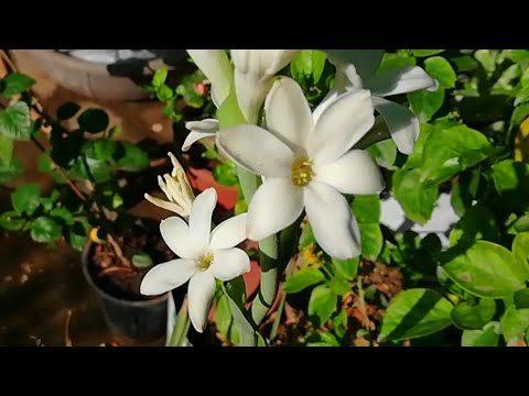 Rajnigandha (Tuberose) Flowers in Summers, How i got Flowers on Rajnigandha in Summers(Hindi)
