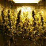 600W Hydroponic DWC Cannabis Grow   23oz Harvest